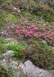 Ericaceae - Rhododendron ferrugineum - STELVIO NATIONAL PARK ITALY (89).JPG