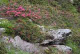 Ericaceae - Rhododendron ferrugineum - STELVIO NATIONAL PARK ITALY (90).JPG