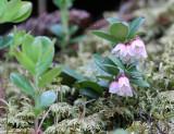 Ericaceae - Vaccinium species - STELVIO NATIONAL PARK ITALY (156).JPG
