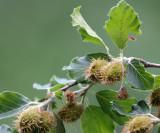 Fagaceae - Fagus sylvatica - ABRUZZO NATIONAL PARK ITALY (68).JPG