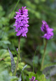 Orchidaceae - Orchis mascula - STELVIO NATIONAL PARK ITALY (146).JPG