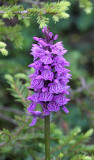 Orchidaceae - Orchis mascula - STELVIO NATIONAL PARK ITALY (148).JPG