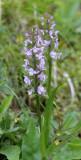 Orchidaceae - STELVIO NATIONAL PARK ITALY (77).JPG