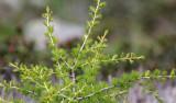 Pinaceae - Larix decidua - STELVIO NATIONAL PARK ITALY (132).JPG