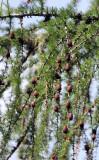 Pinaceae - Larix decidua - STELVIO NATIONAL PARK ITALY (159).JPG