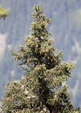 Pinaceae - Picea abies - STELVIO NATIONAL PARK ITALY (160).JPG