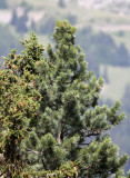Pinaceae - Pinus cembra - STELVIO NATIONAL PARK ITALY (145).JPG