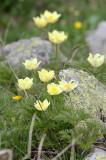Ranunculaceae - Ranunculus serpens - STELVIO NATIONAL PARK ITALY (119).JPG