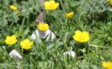 Ranunculaceae - Ranunculus species - ABRUZZO NATIONAL PARK ITALY (115).JPG