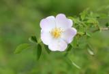 Rosaceae - Rosa arvensis - ABRUZZO NATIONAL PARK ITALY (66).JPG