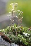 Saxifragaceae - ABRUZZO NATIONAL PARK ITALY (127).JPG