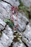 Saxifragaceae - ABRUZZO NATIONAL PARK ITALY (135).JPG