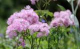 Valerianaceae - Valeriana officinalis - STELVIO NATIONAL PARK ITALY (69).JPG