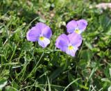 Violaceae - Viola species - ABRUZZO NATIONAL PARK ITALY (114).JPG
