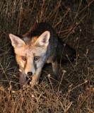 CANID - FOX - IBERIAN RED FOX - SIERRA DE ANDUJAR SPAIN (11).JPG
