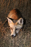 CANID - FOX - IBERIAN RED FOX - SIERRA DE ANDUJAR SPAIN (13).JPG