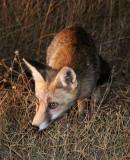 CANID - FOX - IBERIAN RED FOX - SIERRA DE ANDUJAR SPAIN (14).JPG