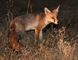 CANID - FOX - IBERIAN RED FOX - SIERRA DE ANDUJAR SPAIN (16).JPG