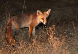 CANID - FOX - IBERIAN RED FOX - SIERRA DE ANDUJAR SPAIN (19).JPG