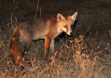 CANID - FOX - IBERIAN RED FOX - SIERRA DE ANDUJAR SPAIN (20).JPG