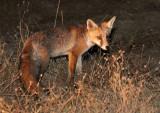 CANID - FOX - IBERIAN RED FOX - SIERRA DE ANDUJAR SPAIN (21).JPG