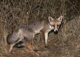 CANID - FOX - IBERIAN RED FOX - SIERRA DE ANDUJAR SPAIN (23).JPG