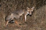 CANID - FOX - IBERIAN RED FOX - SIERRA DE ANDUJAR SPAIN (24).JPG