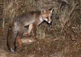 CANID - FOX - IBERIAN RED FOX - SIERRA DE ANDUJAR SPAIN (25).JPG