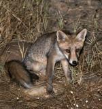 CANID - FOX - IBERIAN RED FOX - SIERRA DE ANDUJAR SPAIN (26).JPG