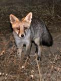 CANID - FOX - IBERIAN RED FOX - SIERRA DE ANDUJAR SPAIN (7).JPG
