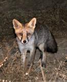 CANID - FOX - IBERIAN RED FOX - SIERRA DE ANDUJAR SPAIN (8).JPG