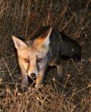 CANID - FOX - IBERIAN RED FOX - SIERRA DE ANDUJAR SPAIN (9).JPG