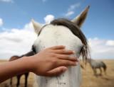 EQUIN - DOMESTIC HORSES - MALPARTIDA & MIRABELA GRASSLANDS SPAIN (29).JPG