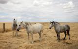 EQUIN - DOMESTIC HORSES - MALPARTIDA & MIRABELA GRASSLANDS SPAIN (30).JPG