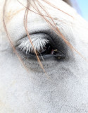 EQUIN - DOMESTIC HORSES - MALPARTIDA & MIRABELA GRASSLANDS SPAIN (32).JPG
