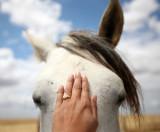 EQUIN - DOMESTIC HORSES - MALPARTIDA & MIRABELA GRASSLANDS SPAIN (37).JPG
