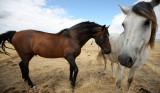 EQUIN - DOMESTIC HORSES - MALPARTIDA & MIRABELA GRASSLANDS SPAIN (6).JPG