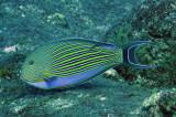 Acanthuridae - Acanthuris lineatus - Blue-lined Surgeonfish - Similan Islands Marine Park Thailand (2).jpg