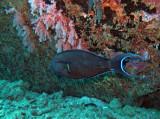 Acanthuridae - Acanthurus fowleri - Fowler's Surgeonfish - Similan Islands Marine Park Thailand.JPG