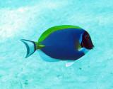 Acanthuridae - Acanthurus leucosternon - Powderblue Surgeonfish - Similan Islands Marine Park Thailand (1).JPG