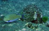 Acanthuridae - Acanthurus lineatus - Blue-lined Surgeonfish - Similan Islands Marine Park Thailand (1).JPG