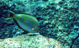 Acanthuridae - Acanthurus lineatus - Blue-lined Surgeonfish - Similan Islands Marine Park Thailand.JPG