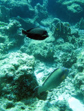 Acanthuridae - Acanthurus pyroferus - Mimic Surgeonfish with Parrotfish - Similan Islands Marine Park Thailand.JPG