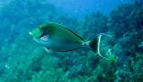 Acanthuridae - Brown Unicornfish - Naso unicornis - Similan Islands Marine Park Thailand.JPG