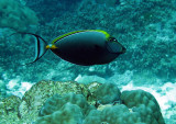 Acanthuridae - Naso lituratus - Stripe-faced Unicornfish - Similan Islands Marine Park Thailand (2).JPG