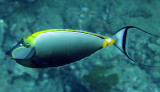Acanthuridae - Stripe-faced Unicornfish - Naso lituratus - Similan Islands Marine Park Thailand.JPG