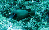 Acanthuridae - Surgeonfish species - Similan Islands Marine Park Thailand (1).JPG