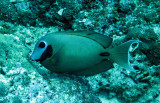 Acanthuridae - Surgeonfish species - Similan Islands Marine Park Thailand (2).JPG