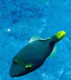 Balistidae - Balistapus undulatus - Red-lined Bannerfish - Similan Islands Marine Park Thailand.JPG