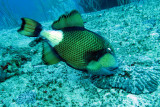 Balistidae - Balistoides viridescens - Titan Triggerfish - Similan Islands Marine Park Thailand (1).JPG